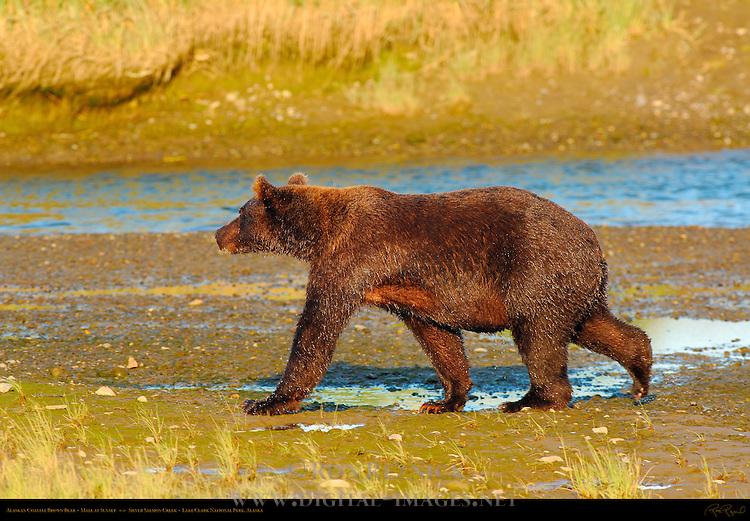 Alaskan Coastal Brown Bear, Male at Sunset, Silver Salmon Creek, Lake Clark National Park, Alaska