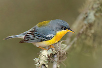 561010011 tropical parula setophaga pitiayumi  - was parula pitiayumi - wild texas .male perched on branch.Kenedy County, Texas