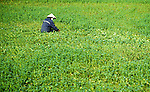 Morning Glory - Farmer in conical hat working in flooded field collecting water spinach plants,also known as morning glory, Hoi An, Viet Nam