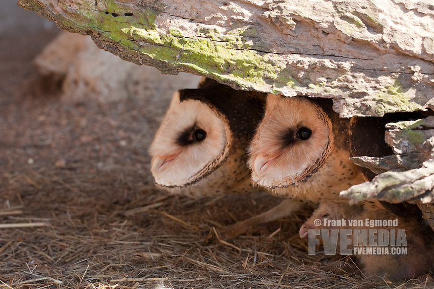 African Grass Owls with chick (Tyto capensis)..Shot under controlled conditions..October 2010..African Bird of Prey Sanctuary..Kwazulu-Natal, South Africa.