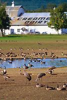Sandhill cranes feed at Creamer's Field migratory waterfowl refuge, Fairbanks, Alaska