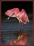 Roseate Spoonbill stretches in late afternoon light at Ding Darling National Wil;dlife Refuge, Sanibel Island, FL