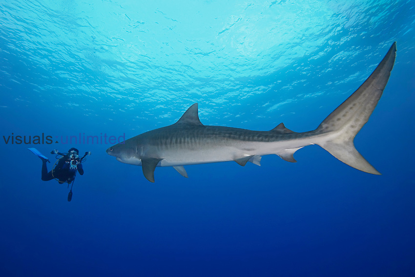 Tiger Shark (Galeocerdo cuvier) and woman scuba diver with underwater video camera, Little Bahama Bank, Bahamas, Atlantic Ocean.