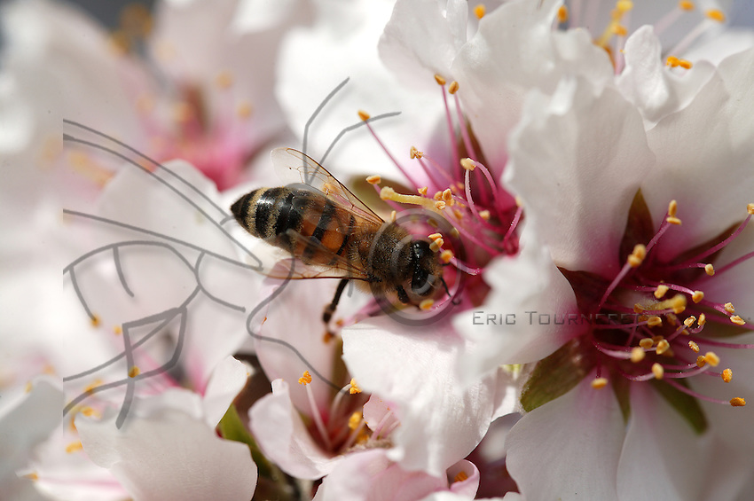 A field bee in search of nectar inadvertently rubs its body on the stamens of an almond tree blossom.