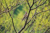 Pinzon Mexicano (hembra )o Carpodacus Mexicanus por su nombre cient&iacute;fico, con distribuci&oacute;n en Canada, USA y casi todo el territorio de Mexico.<br /> <br /> ****<br /> Reserva Monte Mojino (ReMM) de la Natural Culture International (NCI)<br /> <br /> Credito:LuisGutierrez