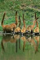 617300005 a troop of wild coatis or coati mundis nasua nasua pause to drink at a small pond on a private ranch in tamaulipas state in northeastern mexico