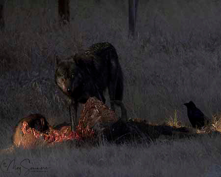 Wolves (Canis lupus) consume a wide variety of prey, large and small. They efficiently hunt large prey that other predators cannot usually kill. They also compete with coyotes (and, to a lesser extent, foxes) for smaller prey. In Yellowstone, 90 percent of their winter prey<br /> is elk; 10-15 percent of their summer prey is deer. They also can kill adult bison. <br /> Many other animals benefit from wolf kills. For example, when wolves kill an elk, ravens<br /> arrive almost immediately. Coyotes arrive soon after, waiting nearby until the wolves are sated. Bears will attempt to chase the wolves away, and are usually successful.<br /> Many other animals--from magpies to foxes--consume the remains. NPS Yellowstone Resource 2011.<br /> Otter Creek confluence with the Yellowstone River. YNP.