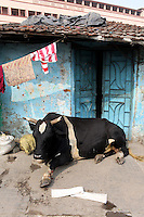 A cow sits outside of a house in central Kolkata.<br /> <br /> To license this image, please contact the National Geographic Creative Collection:<br /> <br /> Image ID: 1925830 <br />  <br /> Email: natgeocreative@ngs.org<br /> <br /> Telephone: 202 857 7537 / Toll Free 800 434 2244<br /> <br /> National Geographic Creative<br /> 1145 17th St NW, Washington DC 20036