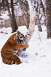 Tiger playing in the snow. (captive)