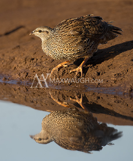 The Natal francolin was one of the more common fowl species seen during our southern Africa trip.