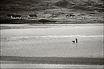 Isle of Lewis and Harris, Scotland: Clammer working the low tide on Luskentyre beach, South Harris Island