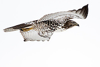 A Red-tailed Hawk flies over agricultural land in Belgrade, Montana.