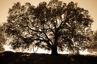Silhouette of a majestic black oak tree at sunrise in the foothills