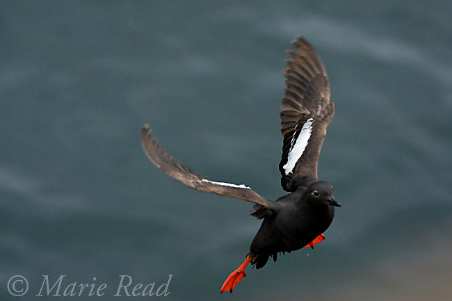 Pigeon Guillemot (Cepphus columba), flying in to land, Santa Cruz, California, USA