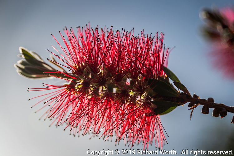 A backlit bottle brush glows with red and subtle green and blue in a suburban backyard.