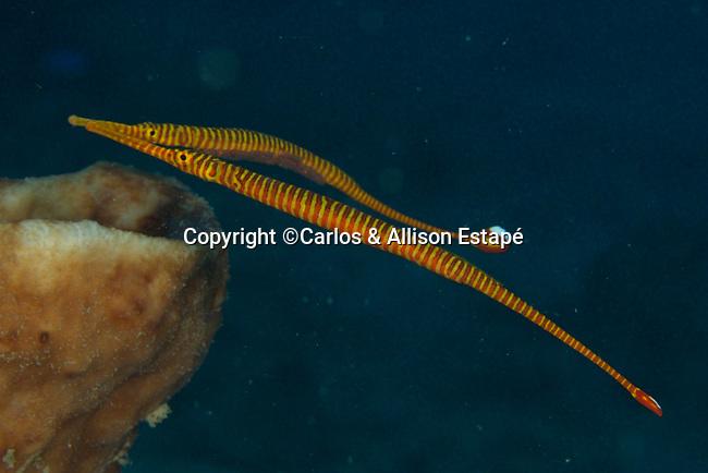 Doryrhamphus dactyliophorus, Ringed pipefish, Ambon, Indonesia Dunckerocampus pessuliferus, Orange-banded pipefish, Ambon, Indonesia