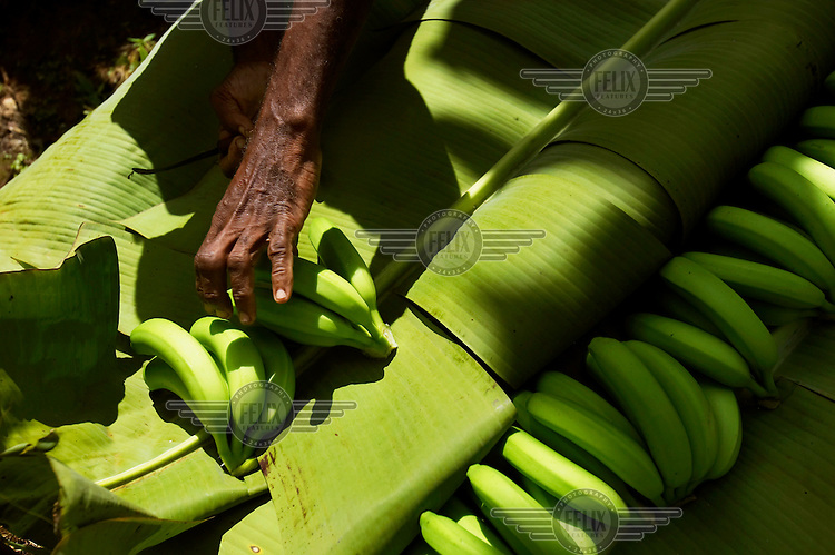 A banana farmer handling bananas for British supermarket Sainsbury's, which now stocks only Fairtrade bananas.