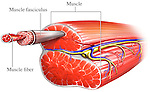 This full color stock medical illustration diagram visualizes the anatomy of a muscle. The muscle fasciculus, muscle fiber, nerve and blood vessels supplying the muscle are clearly illustrated.
