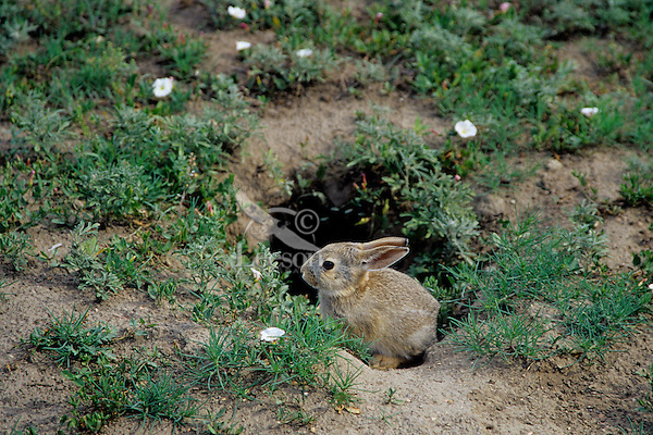 Young Eastern Cottontail Rabbit (Sylvilagus floridanus) sitting at mouth of burrow in Black-tailed Prairie dog town.  Many animals use old prairie dog burrows for dens or as hiding places.