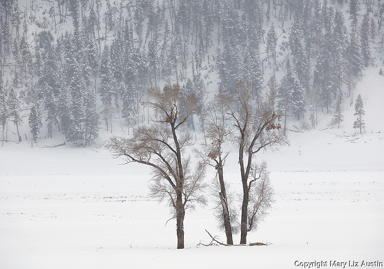 Yellowstone National Park, Wyoming: Cottonwood trees in snowstom in Lamar Valley