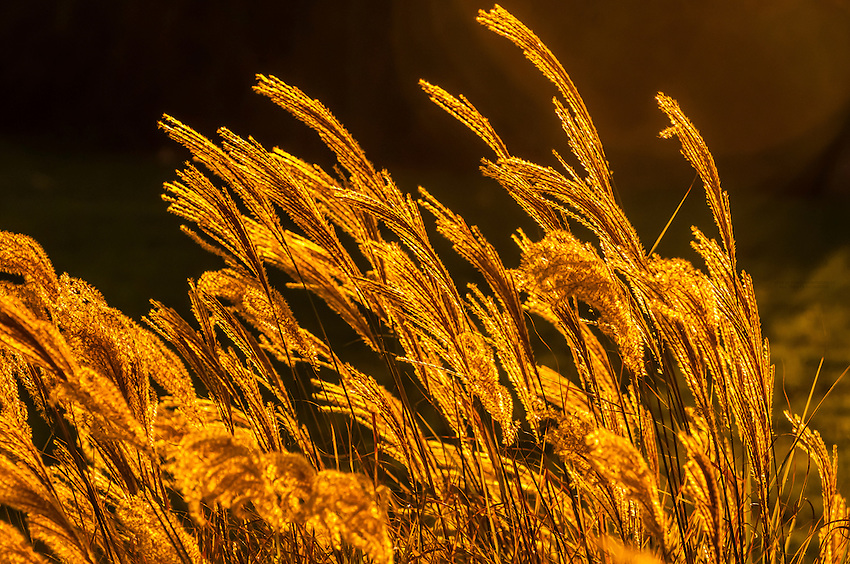 Fountain grass, Montecito (Santa Barbara), California USA.