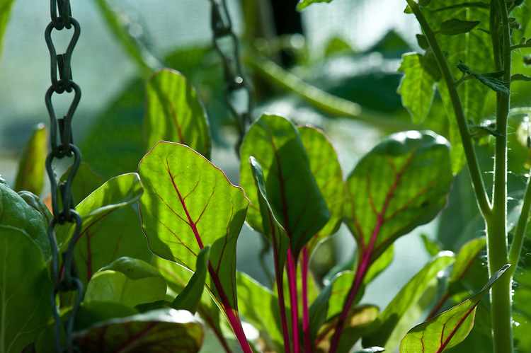 Young leaves of Swiss chard 'Flamingo' planted in a hanging basket, end June.