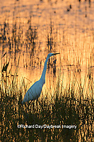 00688-02604 Great Egret (Ardea alba) at sunset Viera Wetlands Brevard County FL