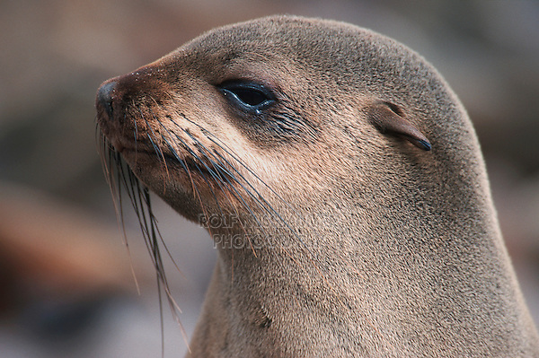 Brown Fur Seal (Arctocephalus pusillus), adult, Cape Cross, Namibia, Africa