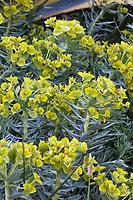 Euphorbia rigida, Gopher plant, spurge flowering in Nan Sterman Garden