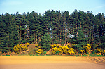 AE2KP1 Conifer trees and gorse by ploughed field Suffolk Sandlings England