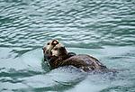 Sea otter and pup, Alaska, USA