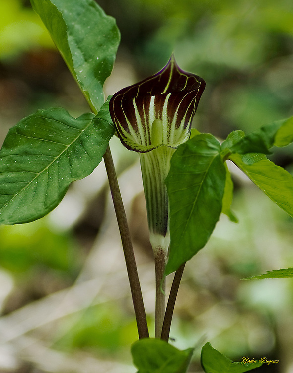 Jack In The Pulpit wildflower. Smoky Mountain photos by Gordon and Jan Brugman.