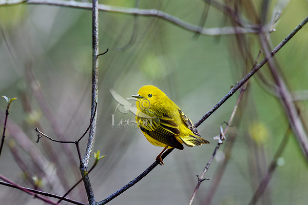 Male Yellow Warbler (Setophaga petechia).  Great Lakes Region.  May.