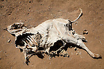 The remains of dead animals are seen near Klaimendo village in North Darfur, 05 Dec, 2008. Despite the fact that North Darfur is believed to currently have the highest concentration of NGOs in the world, the creation of Klaimendo district and village is the work of people born and raised in the area, rather than an outside aid agency. (John D McHugh)