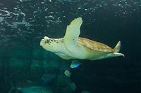 Loggerhead Turtle (Caretta caretta) (c) Photo taken the the Newport Aquarium. Newport, Kentucky