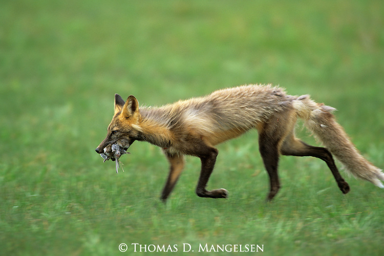 Cross Fox carrying a carcass in Denali National Park, Alaska.