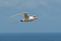 Red-tailed Tropicbird in flight, Kauai, Hawaii