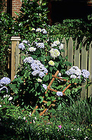 FLOWERING TREES AND SHRUBS<br /> Blue Hydrangea, Saxifragacae Family<br /> Hydrangeas are blue in basic soil