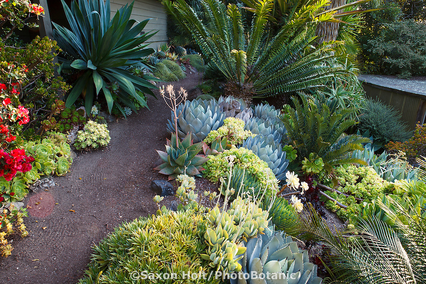 Dirt path with drought tolerant succulents and Cycad in Don Worth tropical garden border
