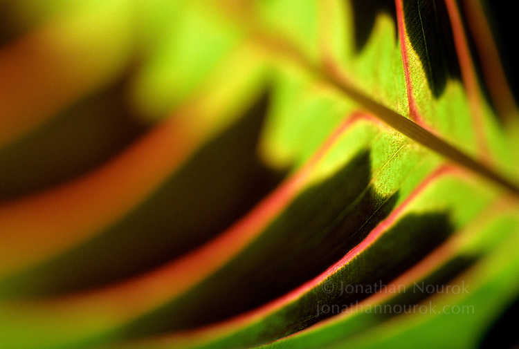 close-up of a maranta leaf