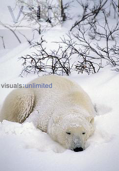 Polar Bear sleeping in the snow (Ursus maritimus), North America.