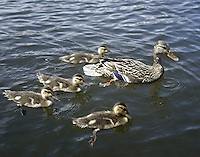 July 12, 2003 : A family of ducks could be seen swimming near the boat launch of Kitsap Lake in Bremerton, Washington.