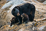 Black bear and cubs, Glacier Bay National Park, Alaska
