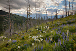 Idaho, Northern, Boundary County, Bonners Ferry, Kaniksu National Forest. Bear Grass and Lupine on a hillside of dead snags in the Cabinet Mountains on a late spring afternoon.