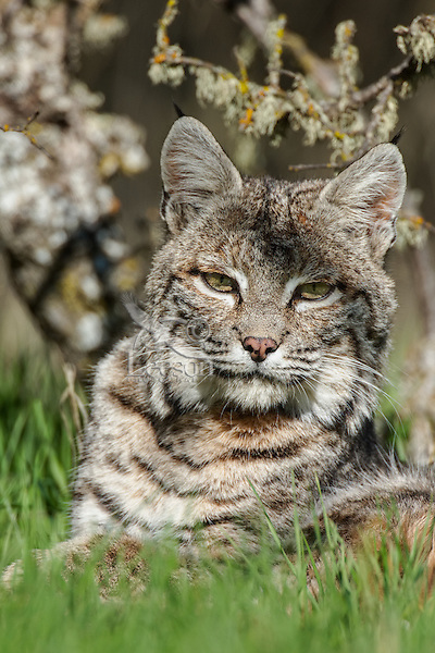 Wild Bobcat (Lynx rufus) in Central California.  December.  (Completely wild, non-captive cat.)