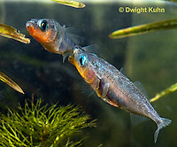 1S17-641z Male Threespine Sticklebacks defending territories, Mating colors showing bright red belly and blue eyes,  Gasterosteus aculeatus,  Hotel Lake British Columbia