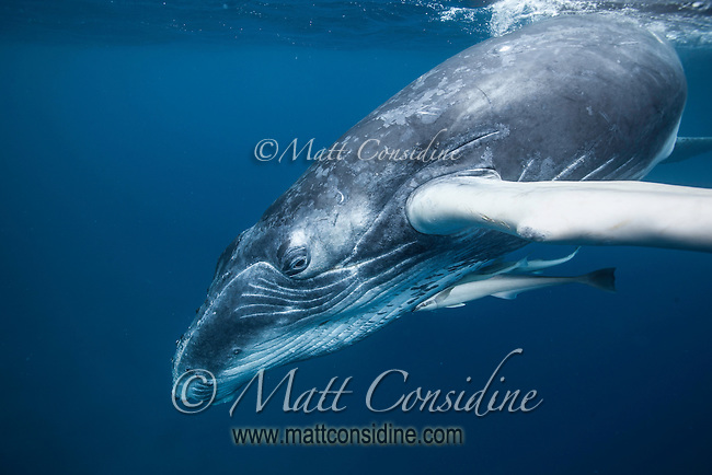 Diving young humpback whale with large remoras. (Photo by Underwater Photographer Matt Considine)