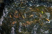 Fazenda Bauplatz, Parana State, Brazil. leaves seen through the water in dapples sun with ripples.