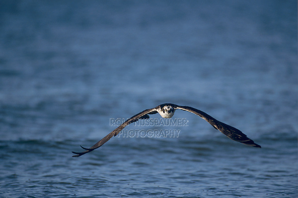 Osprey, Pandion haliaetus,adult flying, Sanibel Island, Florida, USA