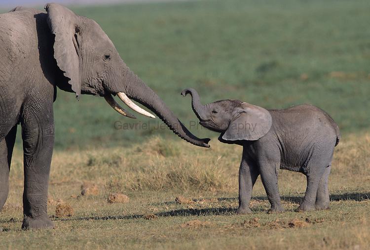 Baby Elephant (Loxodonta africana) walking with mother